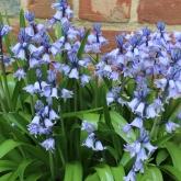 Purple Flowers in Colonial Garden